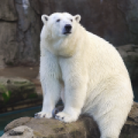 Urso Polar Cam - San Diego Zoo