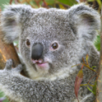 Koala Cam - San Diego Zoo Live - San Diego - CA, United