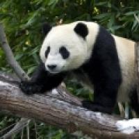 Panda Cam - San Diego Zoo