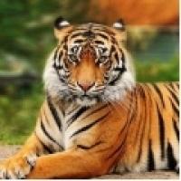 Tigres - San Diego Zoo